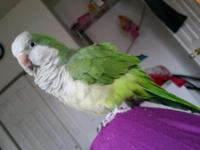 A beautiful Quarker parrot available for sale. Lovely,
