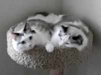 Two beautiful blue eyed, long hair Ragdoll cats for