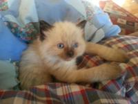 I have 4 beautiful Ragdoll kittens, 2 male and 2