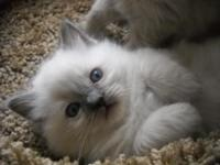 Pure breed ragdolls I have One female Blue color point