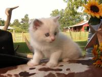 Purrrfectly Gorgeous Ragdoll kittens ready for adoption