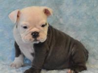 We have 7 beautiful blue English Bulldog Babies that