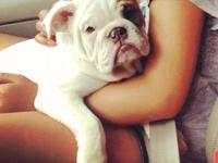I have a 13 week old Rare Chocolate English bulldog for