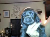 NewLitter of Rare cocker spaniel puppies .Parents on