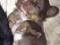 Long hair uncommon colour chihuahua new puppy. Dog has