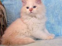 AMAZING RARE VERY LIGHT CREAM LYNX POINT CFA REGISTERED
