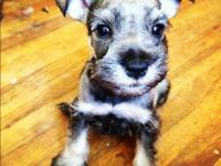 SHEROB RARE & EXOTIC SCHNAUZERS OFFERS READY FOR