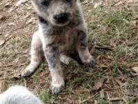 Beautiful blue and red heeler puppies, mom and dad on