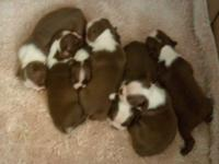 Beautiful Red and White AKC Boston Terrier puppies Born