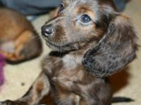 Beautiful standard size longhair male dachshund puppy