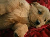 we have 4 adorable golden retriever puppies that are