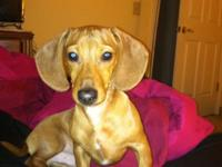 Prince is a high quality male red minture dachshunds,