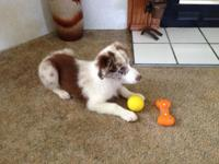 Adorable Red Merle Australian Shepherd puppy. Female.