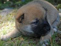 Super charming red Shiba puppies are offered and. ready