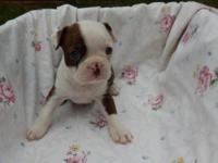 Have this beautiful AKC Boston Terrier female. She is