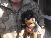 Reg. Holland line Rottweiler puppies, bred for
