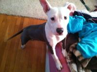 6 month old women pitbull young puppy. Registered, I