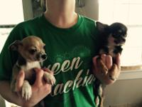 Beautiful registered chihuahua puppies available. Long