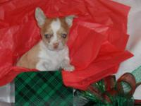 Nice CKC registered Chihuahua puppies ready in time for