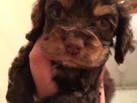 Beautiful CKC registered cocker spaniel puppies. Home