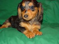 She is a gorgeous little long coat black and tan dapple