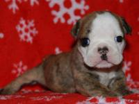 We have a litter of Bulldog puppies that were born on