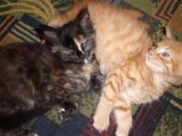 Beautiful registered maine coon kittens - well