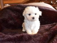 We have two gorgeous Maltese puppies ready for