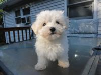 Cute signed up Maltese Puppy. He is 9 weeks,