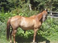 Annabelle Hannah, is a Chestnutt 13 year old mare