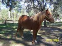 One owner, beautiful registered Paso Fino mare, in need