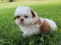 Family raised Shih Tzu Puppies Available. 1 chocolate