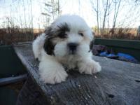 Gorgeous Registered Shih Tzu Puppy. He is adorable. He