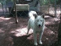 We have 2 stunning female Huskies that are readily