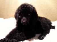 I have a lovely clutter of Standard Poodle Puppies. I