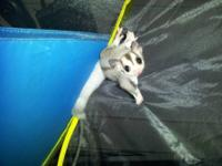 Ringtail Mosaic sugar glider, located in Pomona Park,