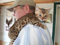 I have a beautiful spotted rosetted kitten for sale.