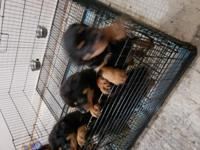 Wonderful rottweiler puppies ready for there forever
