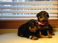 Beautiful Rottweiler puppies for adoption, will be