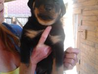 ONLY BOYS LEFT NOW - Our brilliant Rottweiler , has had