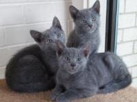 We have two beautiful Russian Blue kittens, purebred
