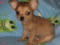 Todd is a beautiful purebred sable Merle male Chihuahua