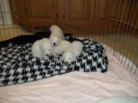 Lovely Samoyed Puppies available mid October. Both moms