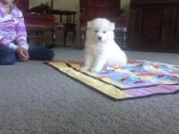 We have beautiful Samoyeds with good confirmation and