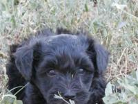 Beautiful Female Schnoodle Puppy, Both Parents are