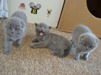 Beautiful Scottish Fold kittens.sweet and has a