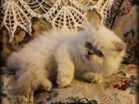 I have a beautiful Himalayan kitten up for adoption.