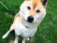 Fantastic shiba inu dog, guy, neutered, utd on tries,