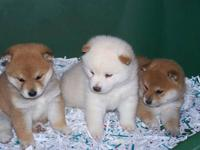 Very healthy and active puppies available now, both