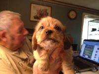 Jolie is a beautiful, reddish blonde w/black shih-poo